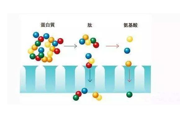 小分子肽比完整蛋白、氨基酸有什么营养与吸收优势?