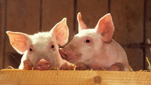 小肽被应用于猪营养品等养殖农业中