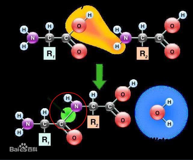 酰胺键和肽键的区别