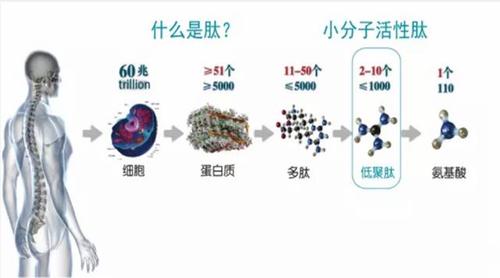 什么是小分子活性肽?