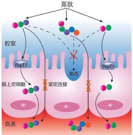 生物活性肽的功能与结构特征